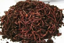 1000 Count Red Wiggler Live Composting Worms