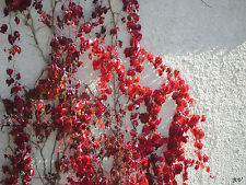 PARTHENOCISSUS QUINQUEFOLIA 20 semi seeds Vite americana Virginia creeper