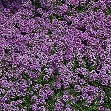 Creeping Thyme Thymus Walk On Me Herb Flower 100 Seeds