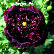 POPPY BLACK PEONY - 2700 SEEDS - Papaver Paeoniflorum - FLOWER