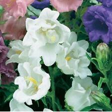 50+ CAMPANULA CANTERBURY BELLS WHITE DOUBLE FLOWER SEEDS PERENNIAL/RABBIT RESIST