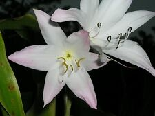 Crinum Lily, Elusive, small-size bulb - NEW
