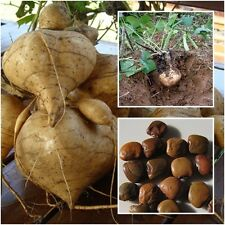 Yam Bean 50 Seeds, Jicama, Mexican Potato, Mexican turnip, Rare Unique Seeds