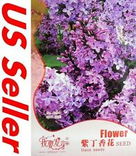 Purple Lilac Syzygium Aromaticum Seeds G79, 20 Seeds Shrub Tree Bonsai Flowers