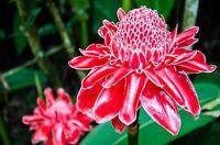 Exot Pflanzen Samen exotische Saatgut Zimmerpflanze Blume ROTER INGWER