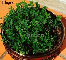 Thyme Seed 200 Seeds Herb Italian Heirloom Medicinal Garden