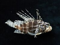 Pterois antennata 119mm ID#3833C sea shells