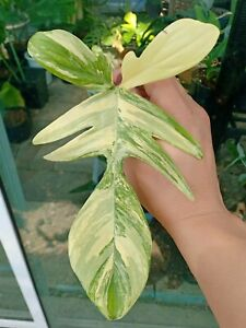 "Philodendron Florida Beauty  ""1 leaf""  Variegated   very frest Cutting Rare!"