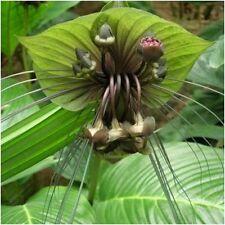 """Green Bat Flower Plant Live Plant Black Lily Rare Flower Plant 6"""" Pot Age 1-2 Y."""