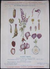 1920 French Medicinal Plant Botanical Print - 'Aconite'