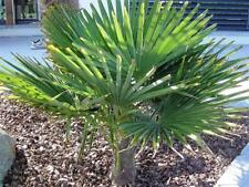 RARITÄT Frostharte Hanfpalme Trachycarpus Ukhrulensis circa 120 cm. bis -20 Grad