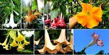 Engelstrompeten-Mix (Brugmansia suaveolens) - Duft am Abend