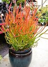 12 Euphorbia Tirucalli fire sticks Succulent Succulents Cacti Cuttings Plant