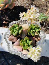 rare - Sedum- Australia Succulent