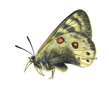 Unmounted Butterfly/Papilionidae - Parnassius staudingeri vladimir, male