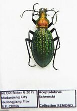 Carabus acoptolabrus schrencki (female A1) from CHINA (Carabidae)