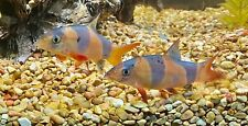 beautiful clown loaches live freshwater aquarium fish
