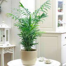 Chamaedorea Elegans Palm - Premium Tall Indoor House Plant Décor Potted 13cm