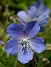 1x Geranium pratense Meadow Cranesbill Hardy perennial Bee plant - 9cm pot