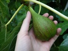 Very rare fig* Ficus carica Calabrese Long *Fig C.Long * 35 + fresh seeds *