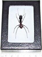 REAL FRAMED HUGE GIANT BULLET ANT CAMPONOTUS GIGAS
