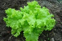The Original 2,700 Thailand Green Lettuce Seeds Lactuca Sataiva Vegetable Seeds