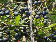 10 Unit Seeds for Plant Elaeocarpus Ganitrus Rudraksha+Germination Instructions