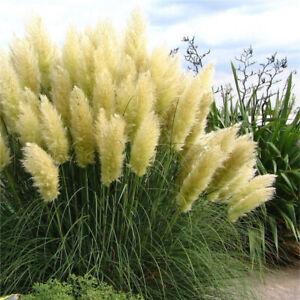 Pampas Grass-Cortaderia selloana argentea Plant in 9 cm Pot