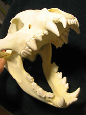 Huge spotted hyena skull taxidermy replica cast