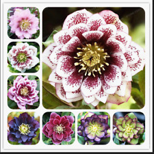 100 Pcs Seeds Helleborus Plants Winter Rose Flowers Rare Garden Bonsai New 2020