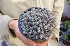 Blue Mound Sedum Cluster-Sedum Dasyphyllum Minor Succulent Fairy Garden Plant !