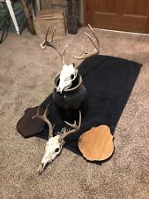 two Whitetail European Skull mounts Antlers Horns 10 and 8 point with plaques