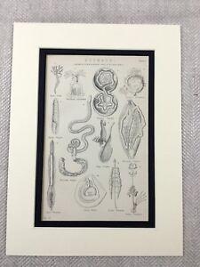 1880 Antique Print Veterinary Diagram Anatomy Anatomical Animal Stomach Types
