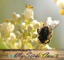 (50) Bee-bee Tree, Tetradium daniellii, Evodia daniellii Tree Seeds - Comb. S&H
