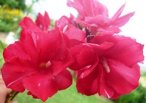 Oleander Pflanze GENERAL PERSHING 40-50cm 3l Topf rot gefüllt selten