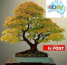 20PCS YELLOW JAPANESE MAPLE BONSAI / TREE SEEDS