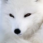 SnowFox UK