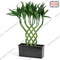 Rare Lucky Bamboo Tree, Dracaena sanderiana Plant  - 10 Viable Seeds - UK Supply
