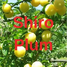 "2 SHIRO PLUM YELLOW FRUIT TREE Cutting Rooting Grafting Scion SHIROPLUM 10-12"""
