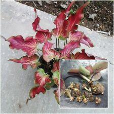 Caladium 1 Tuber, Queen of the Leafy Plants, ''Naithongmhen Taknhor'' From Thai