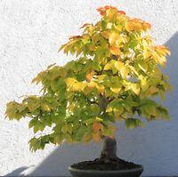 Bonsai Samen i! SCHEINBUCHE !i Zimmerpflanze Balkon Terrasse Sämereien Saatgut