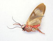 Unmounted Butterfly/Arctiidae - Amerila crokeri, Australia, A1/A-
