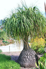 Beaucarnea Recurvata, RARE elephant foot ponytail palm CAUDEX  bonsai  100 SEEDS
