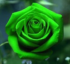 FD701 10 Seeds Chinese Green Rose Seed For Lover Green Rose Seed ~10PCs Seeds~