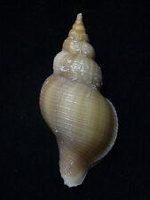 Formosa/shells/Neptunea contraria 104.9mm