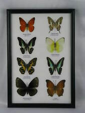 8 echte exotische Schmetterlinge im Schaukasten - einmalig und wunderschön 2x4 1