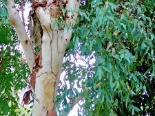 Eucalyptus Camaldulensis - Red Gum - 1gram ( ~600 seeds)