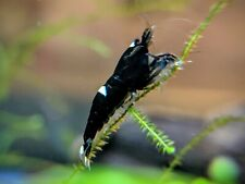 5+1 Black King Kong / Panda Shrimp Mix_Taiwan Bee Shrimp_Live Aquarium Shrimp