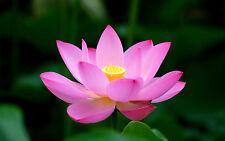 5 Bright Pink Lotus Seeds - Nelumbo Nucifera