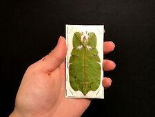 Entomologie Superbe Phasme Feuille Phyllium bioculatum pulchrifolium A1!!